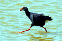Purple Gallinule - Porphyrio porphyrio