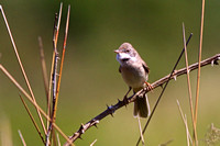 Common Whitethroa - Sylvia communis