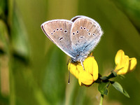 Alcon Blue - Phengaris alcon
