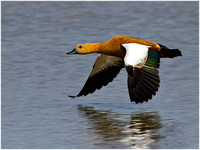 Ruddy Shelduck - Tadorna ferruginea