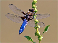 Broad Bodied Chaser - Libellula depressa