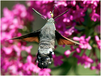 Humming Bird Hawk Moth - Macroglossum stellatarum
