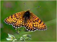 Meadow Fritillary - Mellicta purthenoides
