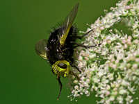 Yellow faced fly - Tachina grossa