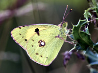 Clouded Yellow - Colias croceus