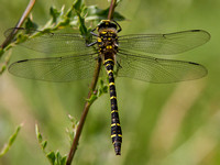 Gold- ringed Dragonfly - Cordulegaster boltonii