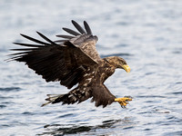 White-tailed Eagle - Haliaeetus albicalla
