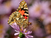 Painted Lady - Cynthia cardui