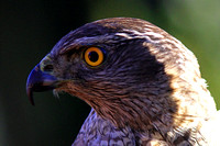 Northern Goshawk - Accipter gentilis