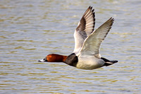 Common Pochard - Aythya ferina