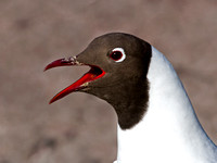 Black- headed Gull - Larus ridibundus