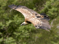 Griffin Vulture - Gyps fulvus
