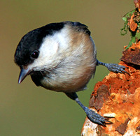 Willow Tit - Parus montanus