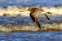 Bar - tailed Godwit - Limosa lapponica