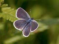 Small Blue - Cupido minimus
