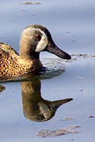 Blue Winged Teal - Anas discors