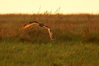Short - eared Owl - Asio flammeus