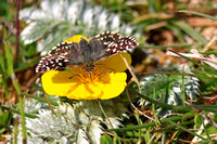 Grizzled Skipper - Pyrgus malvae