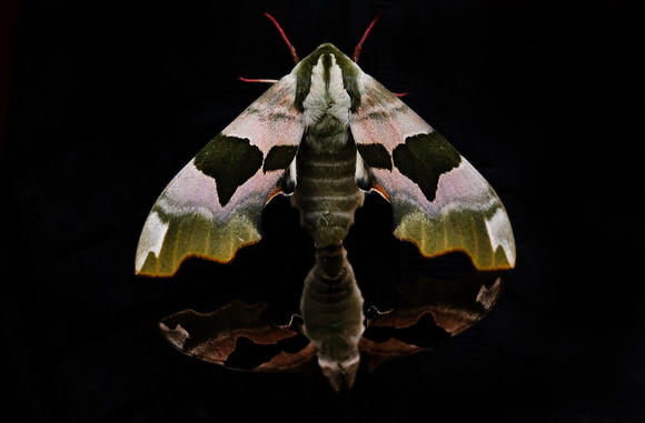 Lime Hawk-moth - Mimas tile