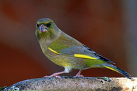 Green Finch - Carduelis chloris