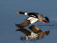 Red - breasted merganser - Mergus surrator